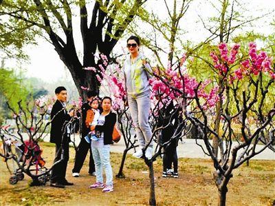 北京清明赏花:低矮的樱花树爬满游客
